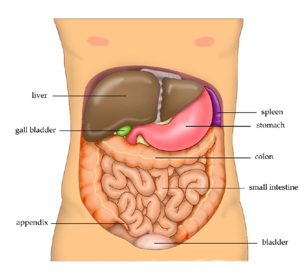 The liver is located in the upper right part of your abdomen